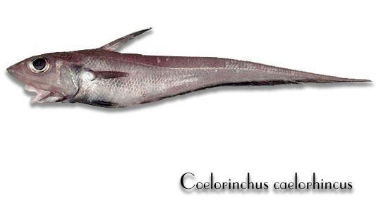 Pesce sorcio Coelorhincus