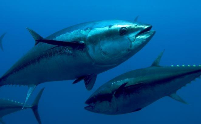 fermo pesca tonno rosso 2017