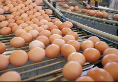 """Richiamo uova contaminate dal Fipronil   4 lotti di """"Fattorie Valle del Misa"""""""