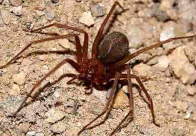 Morso del ragno violino | Un vigile della Polizia municipale di Terni è vivo per miracolo